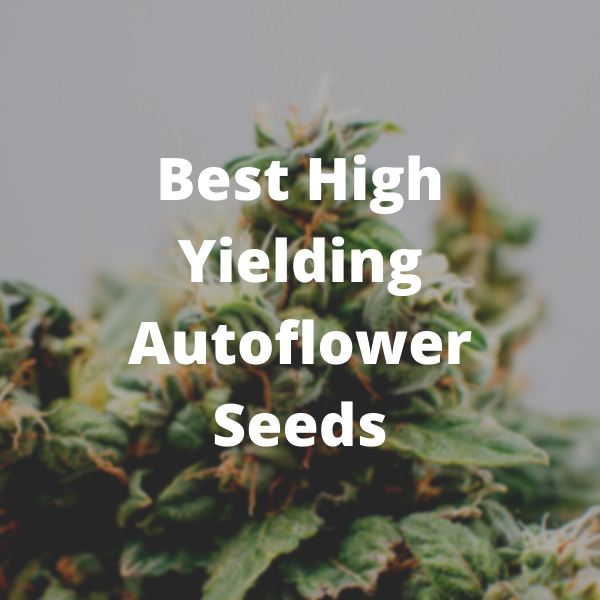 High Yielding Autoflower seeds