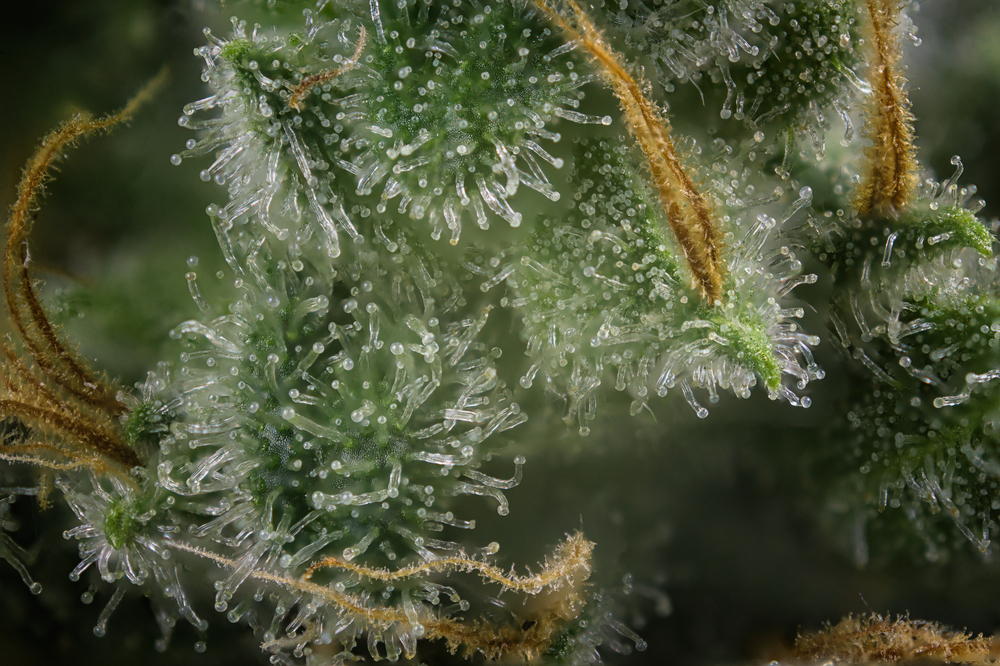Trichome Booster