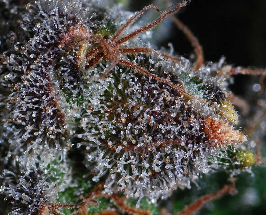 When do trichomes appear
