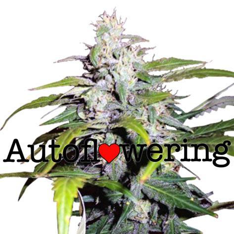 indoor sativa marijuana