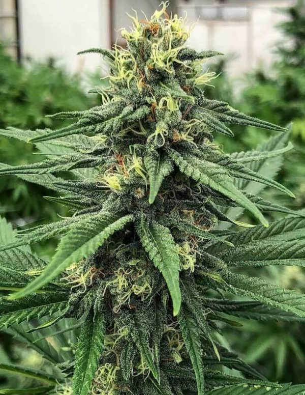 ACDC Seeds For Sale - Where to Buy & Effects - BudInformer.com