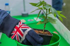 best place to buy cannabis seeds UK