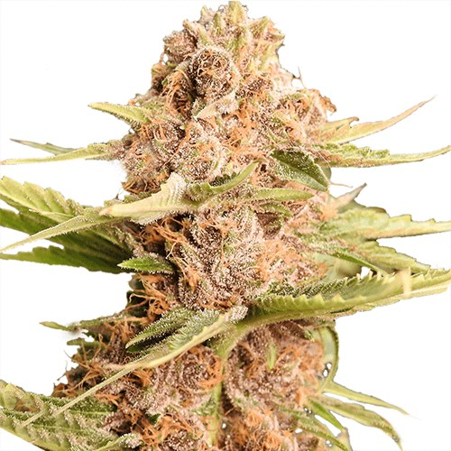 best strains to grow in massachusetts