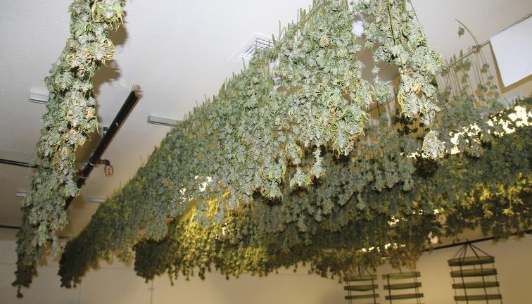 drying marijuana by hanging