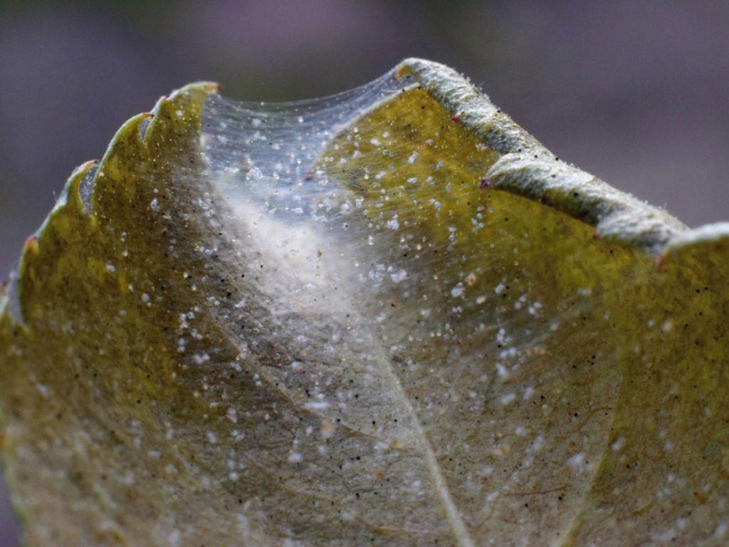 Spider mites on cannabis buds